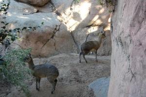SD Diva Antelope