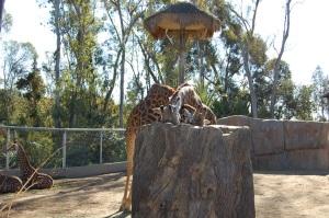 SD Giraffes
