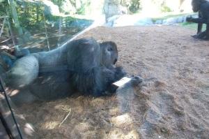 SD Gorilla Silverback
