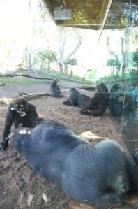 SD Gorillas