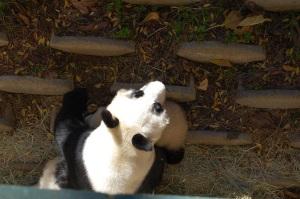 SD Panda Cuddle