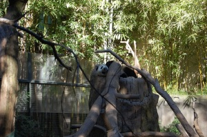 SD Panda Lounging