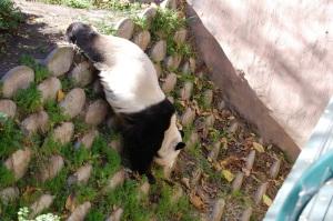 SD Panda Momma
