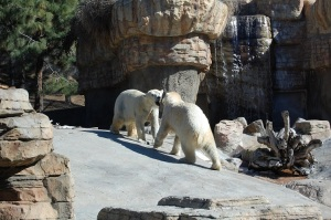SD Polar Bear Fight