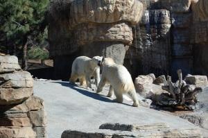 SD Polar Bear Fight