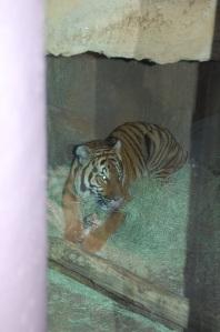SD Tiger