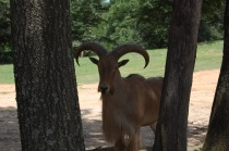 "This guy wins the ""coolest name at Lazy 5"" contest - an aoudad"