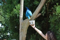 Right after I snapped the picture, the macaw grabbed her bucket and dumped food EVERYWHERE!