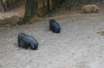 Potbellied pigs everywhere!