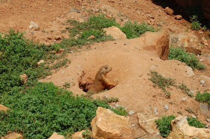 Just some prairie dogs hanging out by the picnic tables