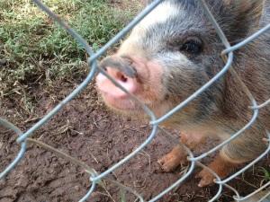 Shelter Pig