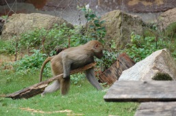 A baby baboon playing with a stick
