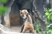 BEAR FIGHT!