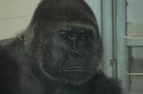 Inside Gorilla